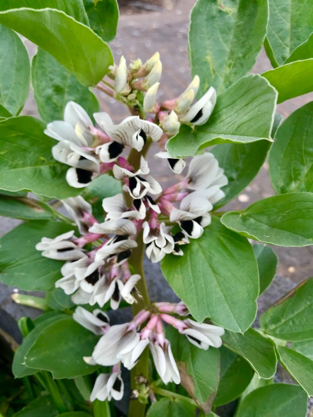 Vicia faba, or Faba Bean Plant