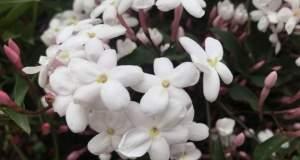 Jasminum polyanthum Flowers