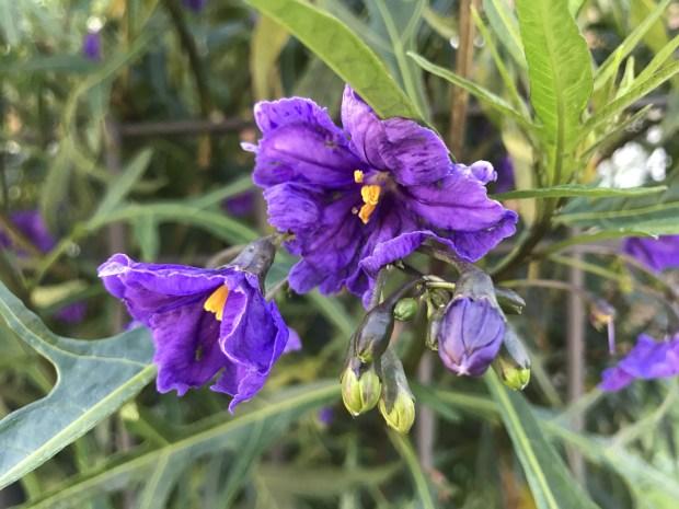 Solanum Laciniatum flower