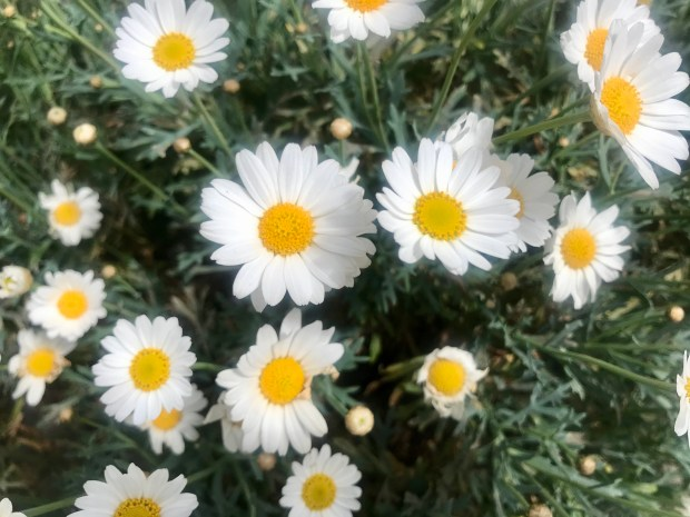 Argyranthemum frutescens, Marguerite
