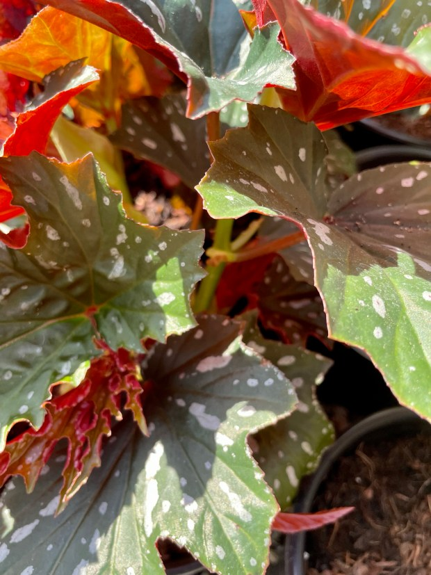 Begonia 'Sophie Cecile'
