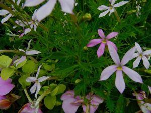 Isotoma axillaris 'Pink Star'