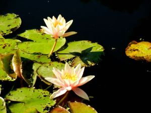Nymphaea 'Sioux'