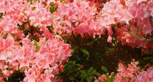 Rhododendron 'Westminster'
