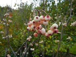 察隅花楸 cha yu hua qiu or Sorbus zayuensis