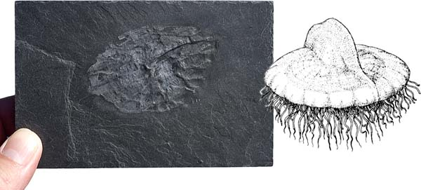 F5411 Plectodiscus