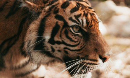 Nepal Set To Become First Country To Double Tiger Population