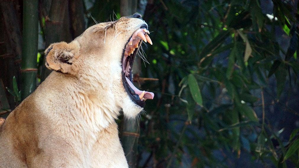 lion-in-sydney