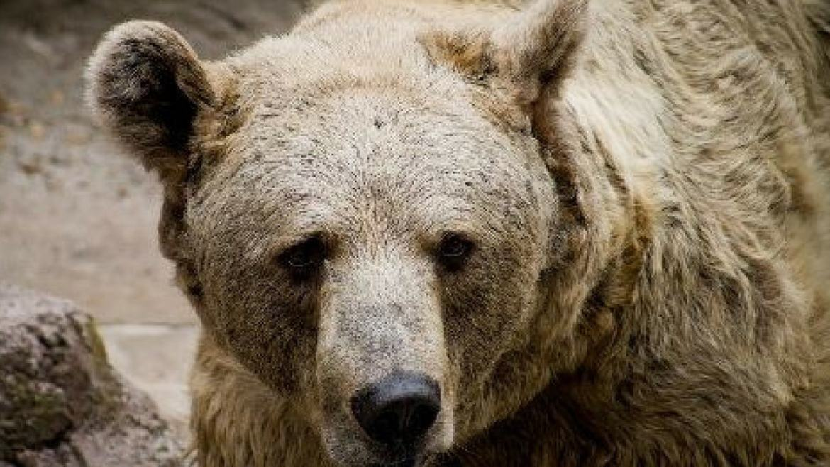 Rare brown bear dies, Bear, Brown, Death, Died, Animal
