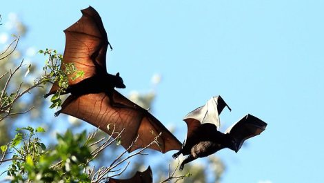 Bats are connected to the Hendra virus
