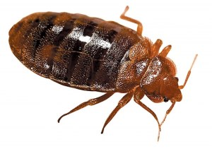 A typical bed bug