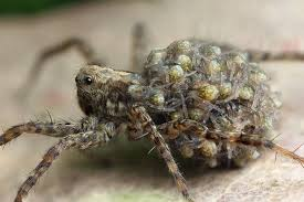 A wolf spider carrying her young ones