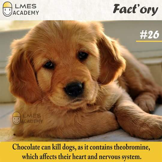 #26 Chocolate can kill dogs, as it contains theobromine, which affects their heart and nervous system.
