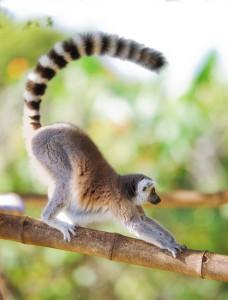long-tail_keywords_lemur