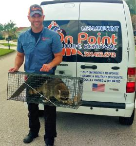 Owner of On Point Wildlife Removal, successfully removing a raccoon from a home in Brevard County, Florida