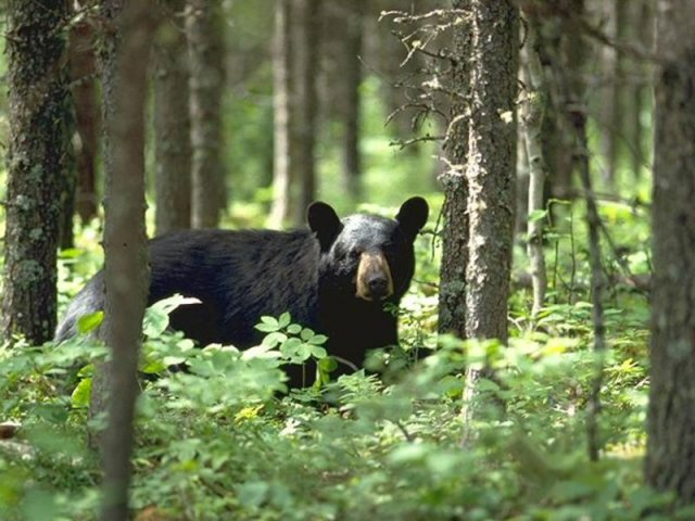 black bear - bear safety while camping in Ontario