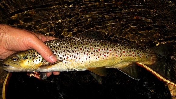 Late night native brown trout.