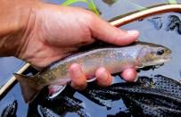 A Credit River brook trout.