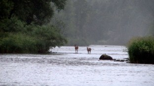 More deer on the Grand River.