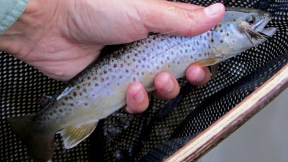 Another average Grand River brown.