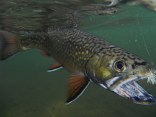 Eric's Manistee River Brook Trout