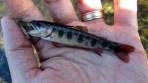 An overzealous brook trout parr.