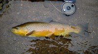 A beautiful wild Credit River brown trout