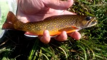 Another colourful brookie.