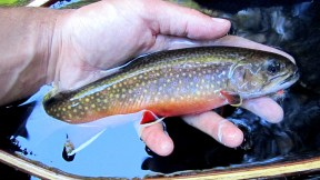 Colourful brook trout.