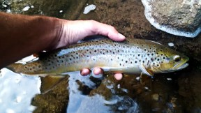 Credit River native brown taken on a dry.