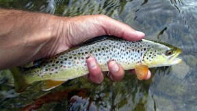 Typical Credit River brown trout.
