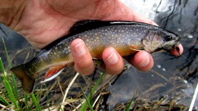 Colourful small stream brookie.