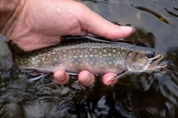 Upper Credit River Brook Trout