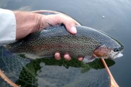 An average Glen Haffy Rainbow Trout.