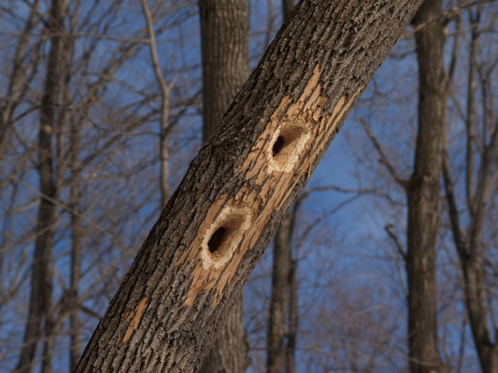 Pileated woodpecker cavities