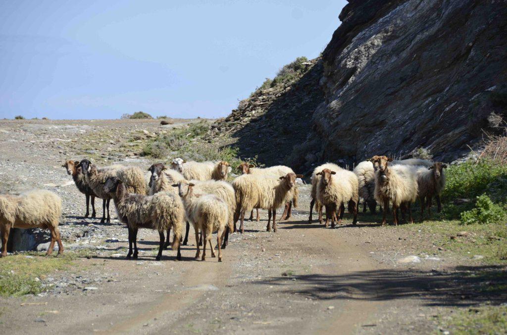 Schapen tour Cavo D'Oro Zuid Evia Griekenland