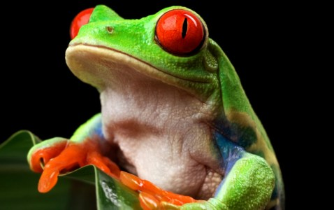 Preview – Natural World: Attenborough's Fabulous Frogs