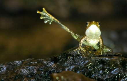A propositioning foot flagging frog