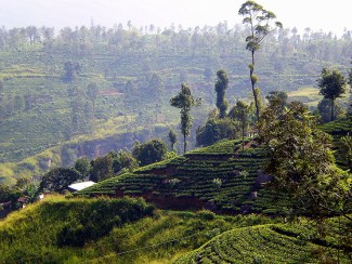 Tea plantations - Elephants, beaches and temples of Sri Lanka
