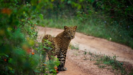 Leopard in Yala National Park - Elephants, beaches and temples of Sri Lanka