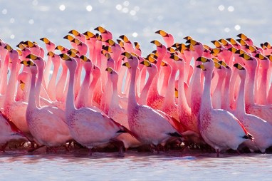 Bolivia is home to six species of flamingos including the rare Andean flamingo and the vibrant James's flamingo, their bright pink plumage beautifully contrasting against the start landscapes of Bolivia's Altiplano. Photo credit: Pedro Szekely