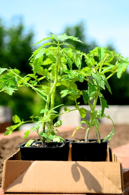 tomato plants - how to grow the best tomato plants ever