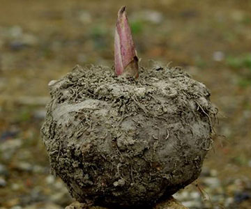 Konjac Plant That Produces Glucomannan Appetite Suppresants