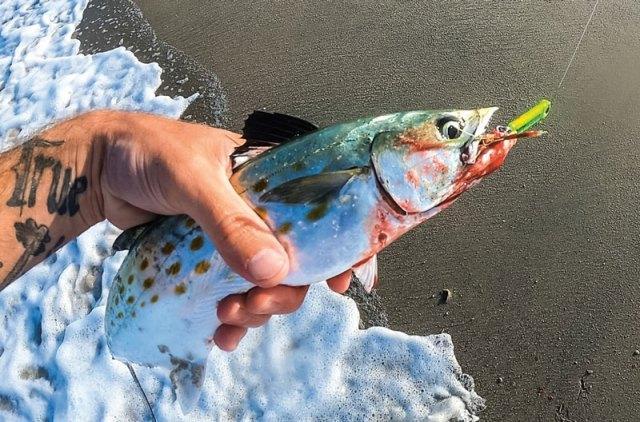 Spanish mackerel on jig