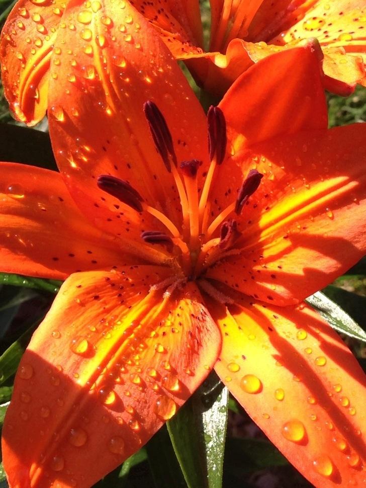 Orange Lily with Raindrops