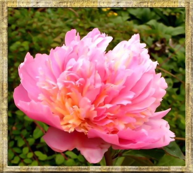 Peace -pink peony