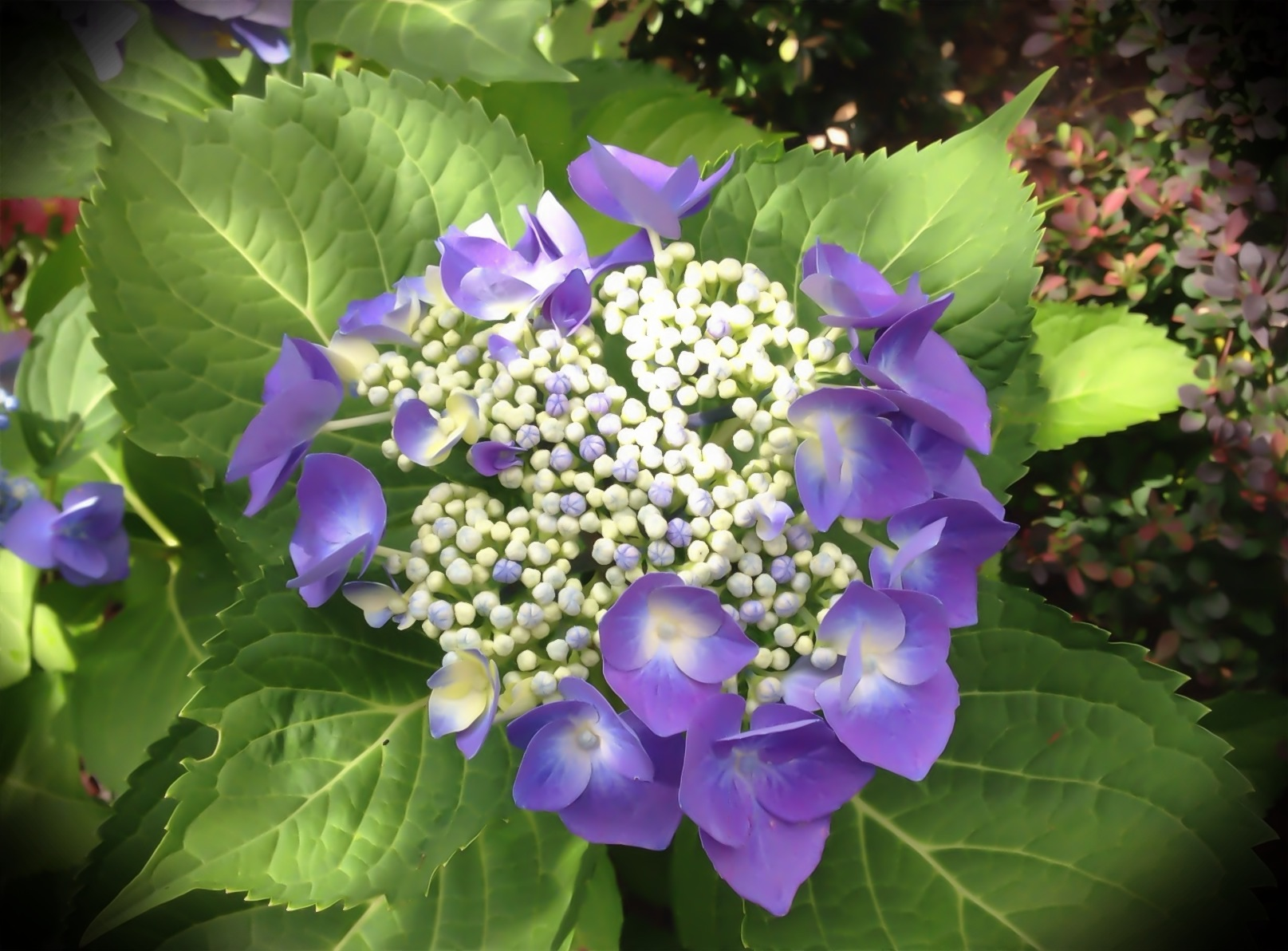 """Hydrangea Blossom"""
