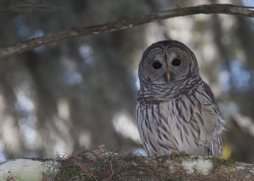 Barred Owl At Lettuce Lake Park And A Precautionary Tale On The Wing Photography