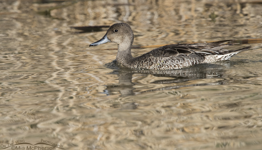 Drake Northern Shoveler In Eclipse Plumage Mia Mcphersons On The