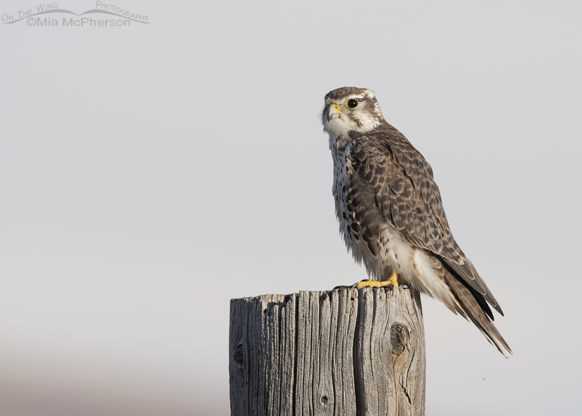 Centennial Valley Prairie Falcon and a Short-eared Owl ...